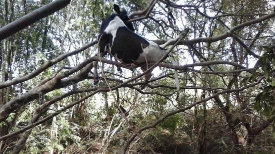 Vaca na árvore