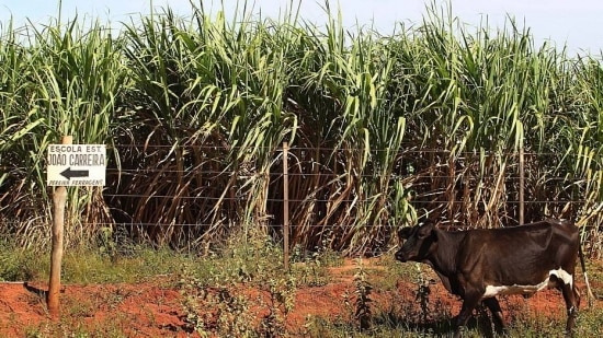 A produção de açúcar e etanol no centro-sul do Brasil deverá ser menor que a estimada inicialmente