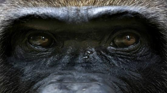 Parque Bwindi é o lugar para ver gorilas