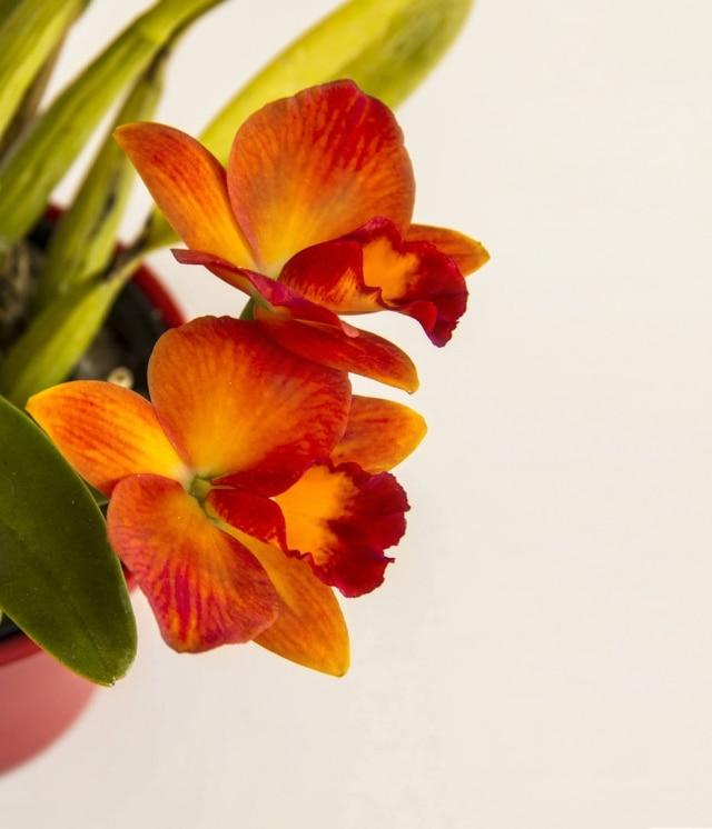A Portinara Love Dressy Apple Pie produz várias flores em cada haste. Parte da coleção de Sergio Oyama