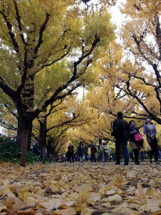 Árvores de ginkgo espalham suas flores amareladas por toda Avenida Icho Namiki no outono