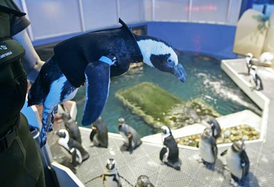 Na Academy of Sciences em São Francisco, Pierre se prepara para voltar a nadar - AP