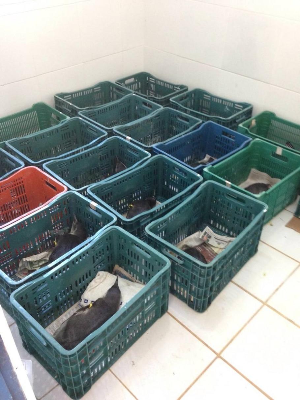 Animais se lançam ao mar em busca de alimentos, perdem-se e chegam à costa debilitados - Aquário de Ubatuba/Divulgação