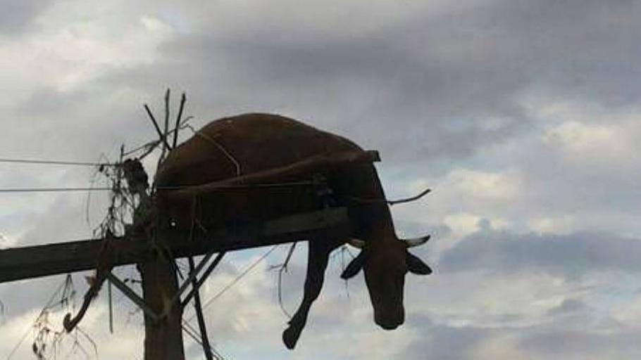 Corpo de vaca permanece há uma semana em poste no RS - Arquivo pessoal (8/7/2014)
