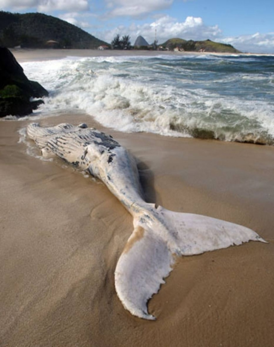 Uma baleia de aproximadamente 8 metros de comprimento apareceu morta na praia de Itaipuaçú, RJ - Tasso Marcelo/AE