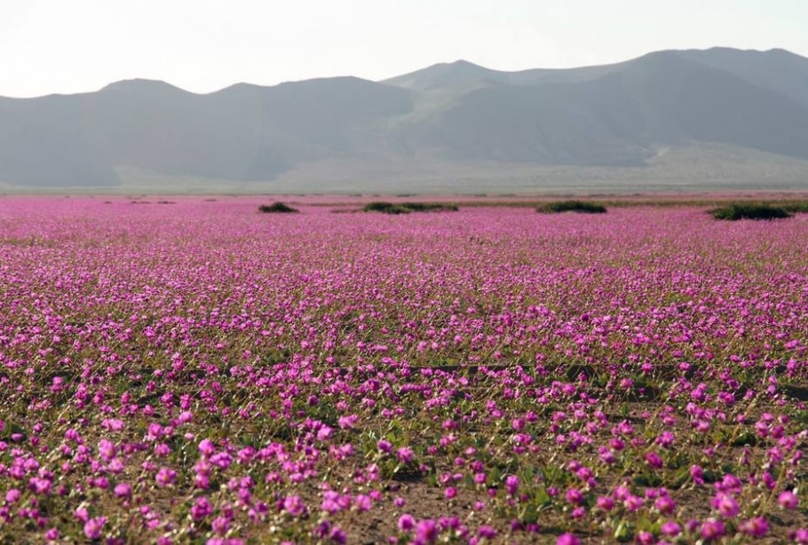 Atacama Florido - AFP PHOTO / CARLOS AGUILAR