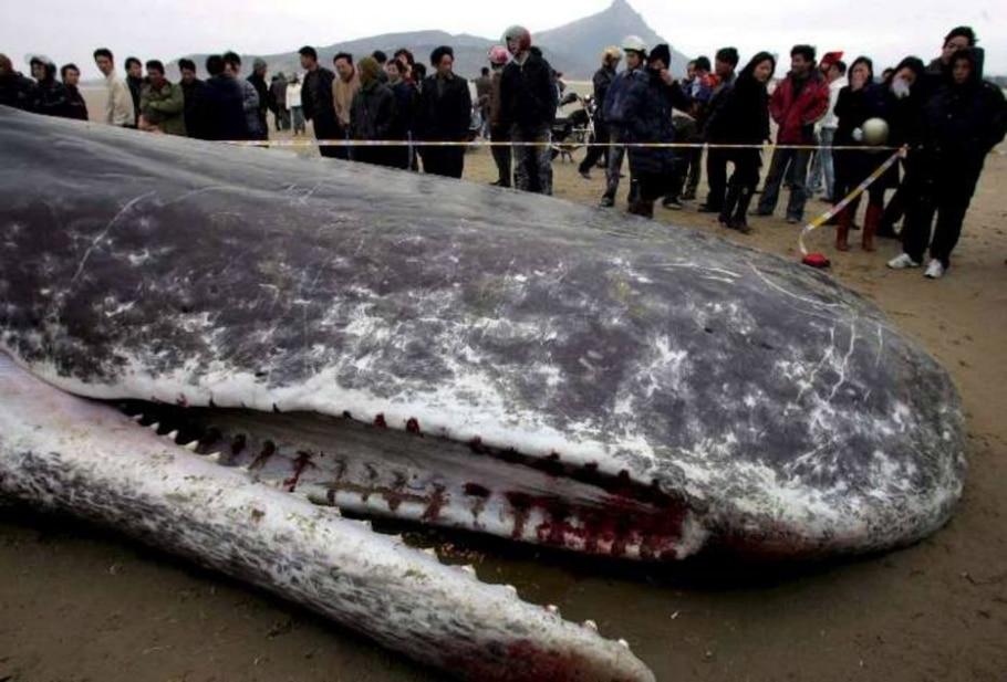 Cadáver de baleia cachalote gigante em praia da China - BAO YAN/EFE