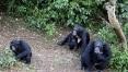 Mal misterioso que ataca chimpanzés é associado a uma doença humana