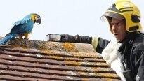 Arara xinga bombeiro que realizava seu resgate na Inglaterra
