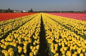 Como é passar um dia no maior jardim de flores do mundo, o Keukenhof