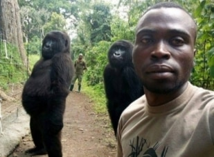 Gorilas posam para 'selfie' ao lado de guardas protetores
