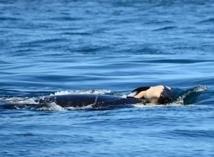 Orca que carregava filhote morto finalmente o deixa ir