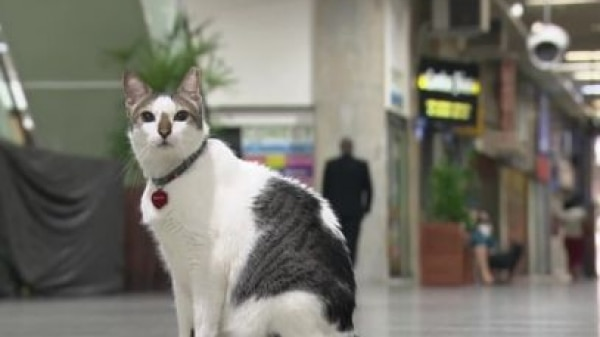Justiça determina que gato Rubinho pode circular por galeria de Copacabana