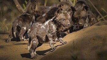 Cachorros selvagens foram reintroduzidos em um parque de Moçambique ano passado e já tiveram várias crias - Foto: Brett Kuxhausen / Gorongosa Media