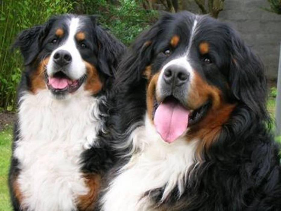 Bród e Síoda, os cachorros do presidente da Irlanda, estão ficando populares por participar de eventos oficiais. Eles são bastante carinhosos ecompanheiros do políticoMichael D. Higgins.