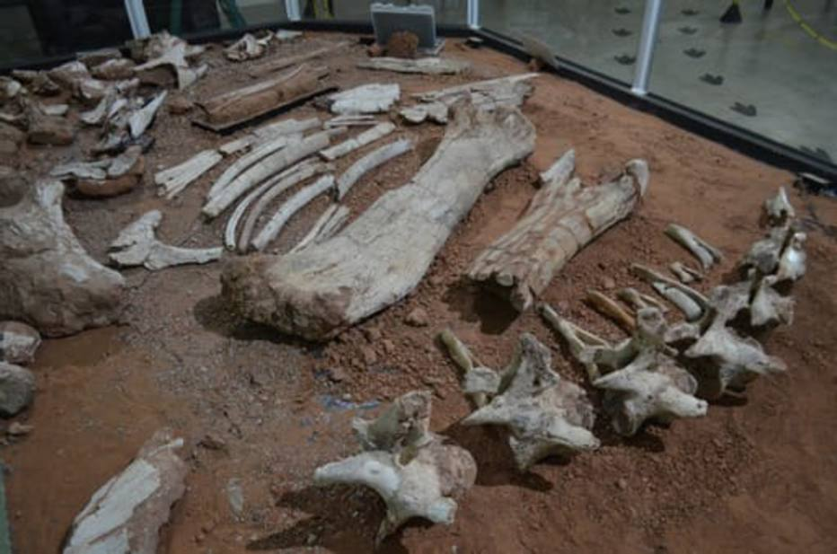 A nova descoberta comprovou que se trata de uma espécie de titanossauro até agora inédita na paleontologia brasileira.