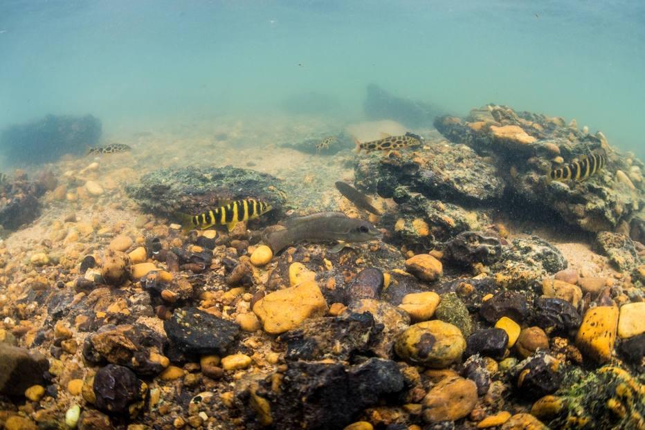 Peixes do Xingu