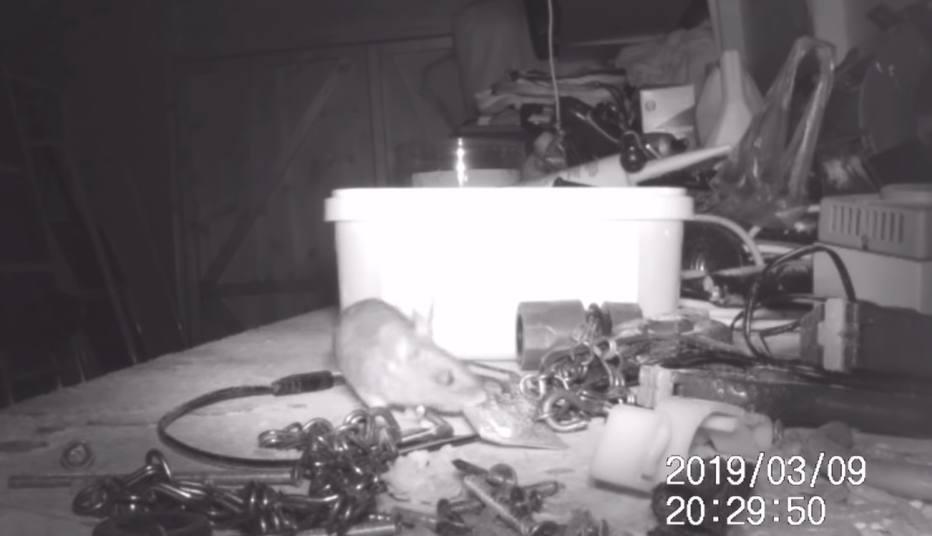 Homem descobre que rato arruma suas ferramentas durante a noite - Emais - Estadão