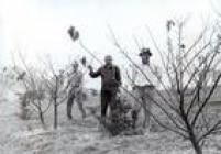 Primeiras cerejeiras foramplantadas na década de 70 pela comunidade japonesa