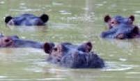 Hipopótamos na fazenda Puerto Triunfo que pertencia a Pablo Escobar. O excêntrico traficante colombiano montou um zoológico. Além dos hipopótamos, importouelefantes, leões, girafas eoutros animais exóticos