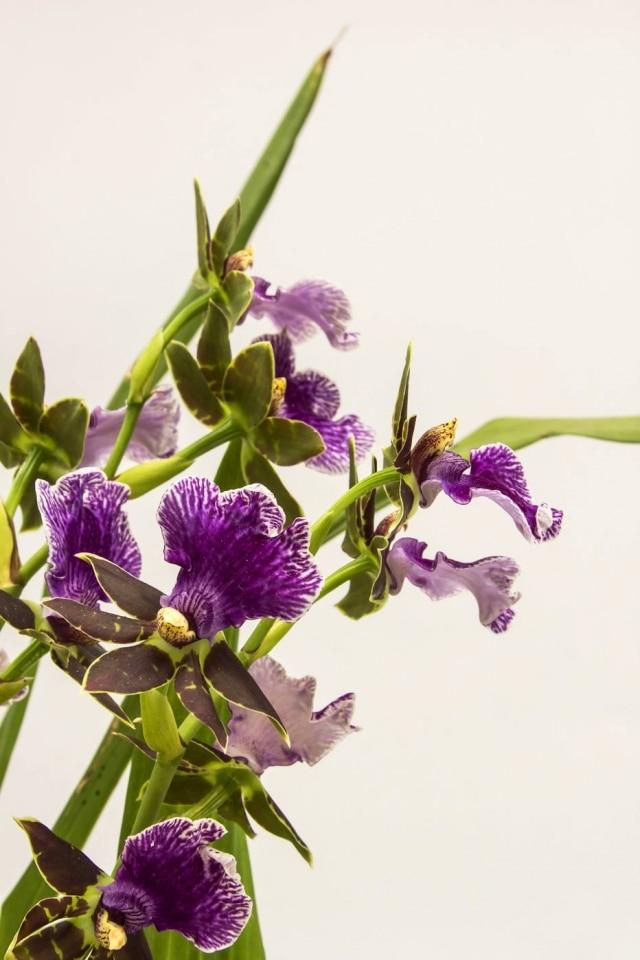 Zygopetalum híbrido, da coleção de Creusa Müller. Suas flores duram até 20 dias. Na natureza, cresce em florestas úmidas e sombias