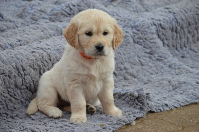 Filhote de golden retriever.