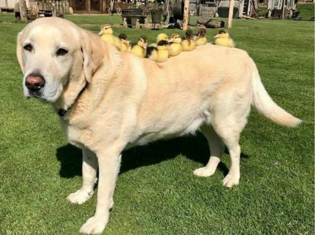 Com 10 anos de idade, labrador Fred 'adotou' patinhos resgatados.