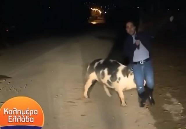 Participação de repórter em programa de televisão foi atrapalhada por perseguição de porco