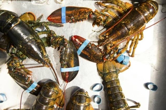 Restaurante no Maine (EUA) quer sedar lagostas com maconha antes de irem para a panela de forma que elas não sofram tanto. Reguladores têm outras ideias