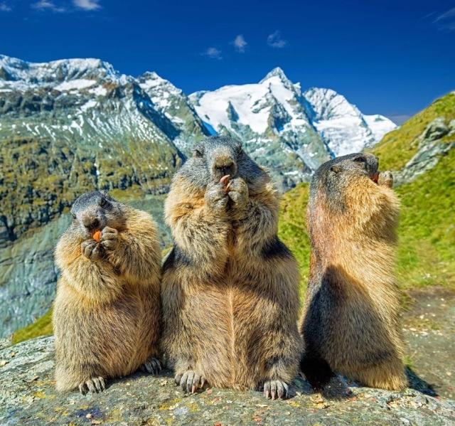 Estudo mostra que marmotas locais diferenciam seudialeto daquele dos forasteiros