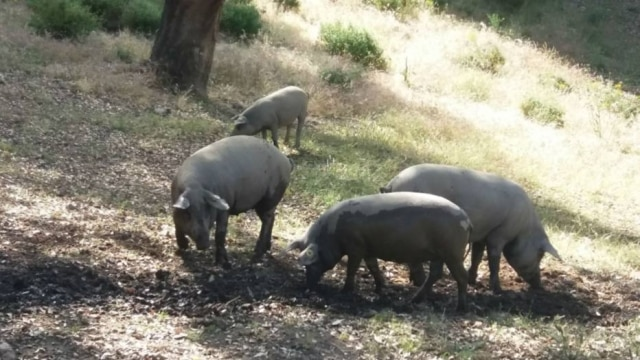 O porco ibérico