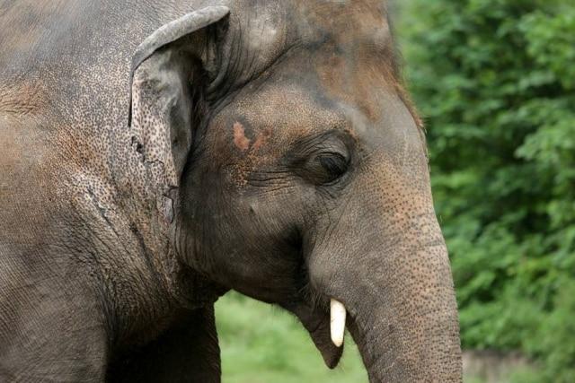 O elefante Kaavan em seu cativeiro no Zoológico Marghazar em Islamabad.