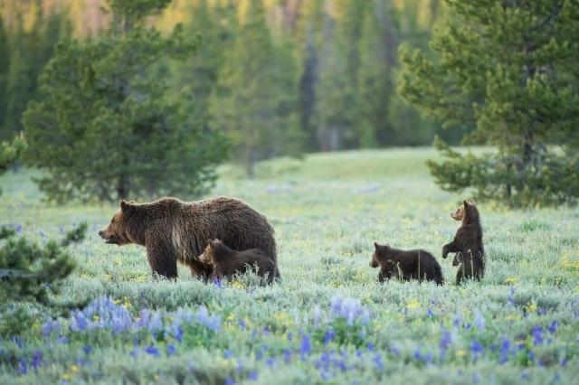 Um norte-americano foi multado por dar comida a ursos selvagens, o que acarretou nos bichos terem que ser sacrificados pelas autoridades