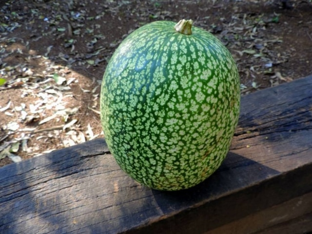 Gila. Da família do pepino e da abóbora, pode ser confundida com uma melancia