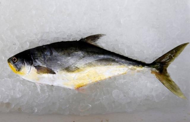 Pescada Saltadeira