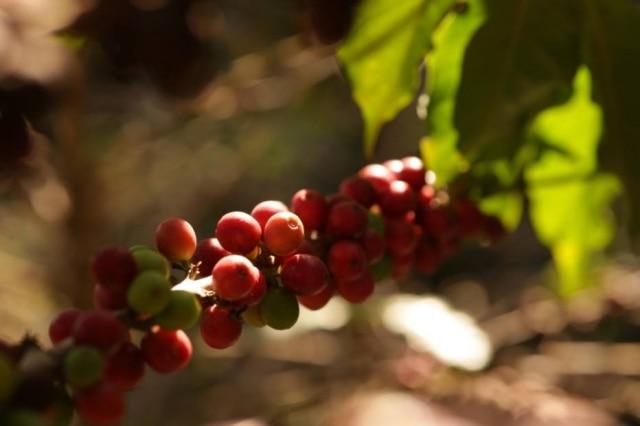 Novo café da Guaspari é feito com grãos de Mundo Novo, Catuaí Vermelho e Obatã