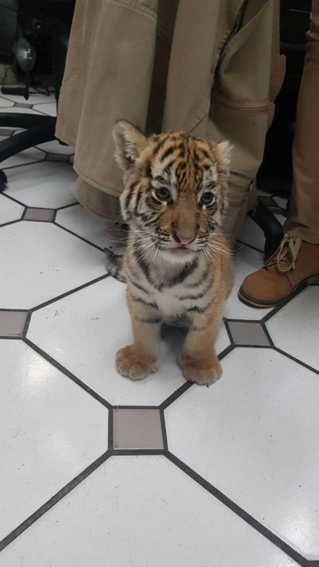 Tigrinho resgatado após ser enviado pelo correio no México.