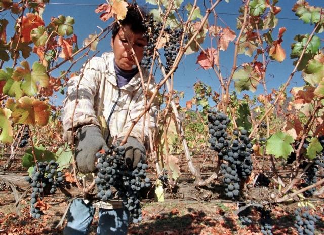 A uva Carmenère, apesar da origem francesa, é emblemática no Chile
