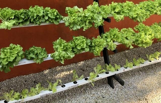 Plantação de alface aquaponia no Super Saudável