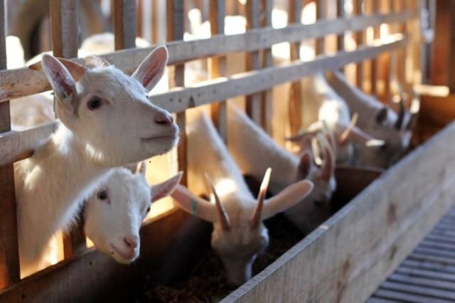 Cabras da fazenda da produtora Heloisa Collins, da Cabril do Bosque