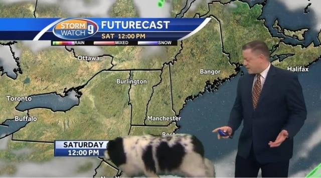 A cachorra Bella passou atrás do aprensetador enquanto ele mostrava a previsão do tempo.