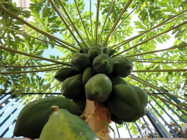 Paciência. Da próxima vez que vir o mamoeiro cheio, espere as frutas ficarem 'de vez', ou seja, nem verdes nem maduras
