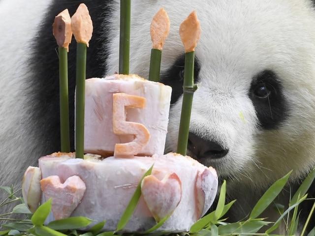 A panda gigante Meng Meng em seu aniversário de cinco anos.