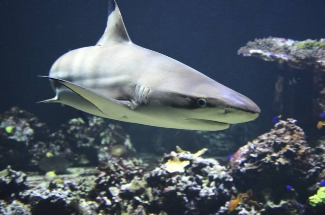 Tubarão fez 'cabo-de-guerra' com pescador na Austrália