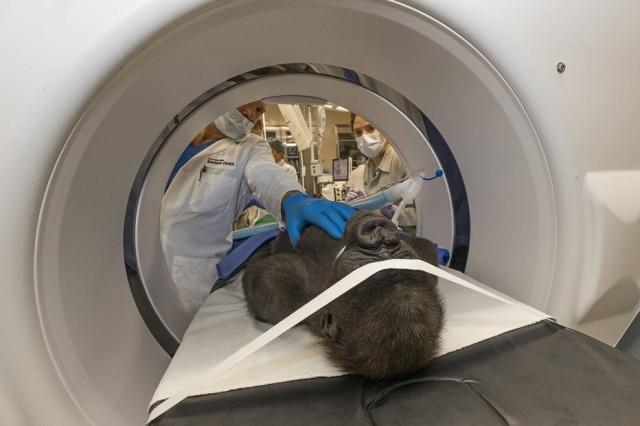 A gorila Leslie passou por uma cirurgia de catarata no Zoológico Global de San Diego
