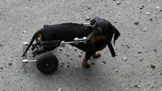 As cadeiras de rodas são produzidas com metal de acordo com o tamanho do cachorro.