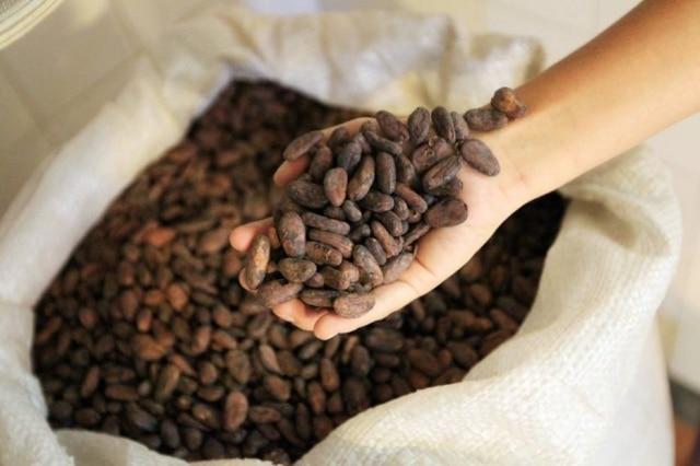 As amêndoas de cacau já fermentadas e secas chegam as pequenas fábrica da Bahia, Espírito Santo e Acre.