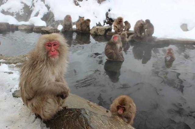 Macacos-japoneses tomam banhos em águas naturalmente quentes