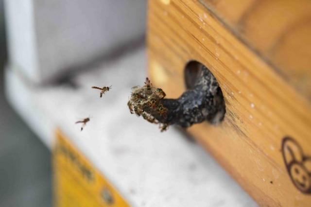 A pequena Jataí, abelha pequenade olhos verdes e asa violeta, encontrada em todo o País e com muita ocorrência em São Paulo