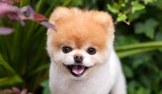 Conhecido por sua fofura, o cão Boo contava com mais de meio milhão de seguidores em suas redes sociais.